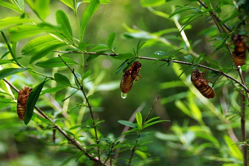 Molted cicada shells, Olana