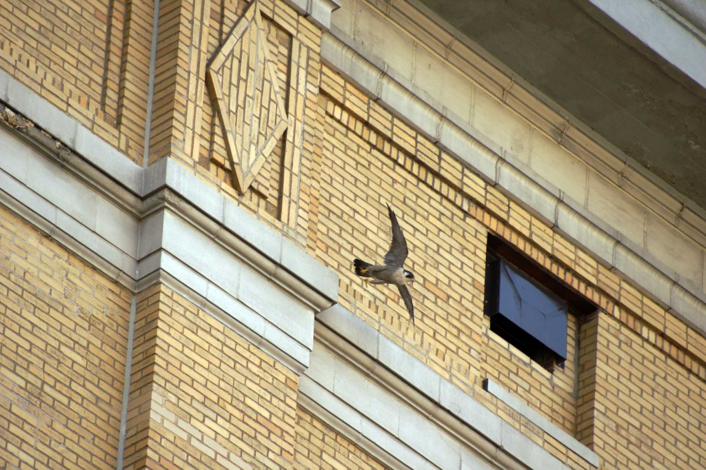 A peregrine falcon takes flight off the DEA headquarters, March 2012